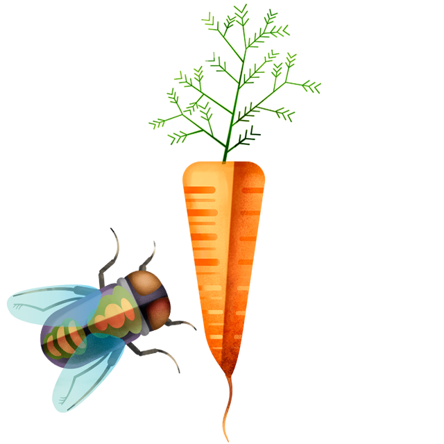 Fliege Karotte