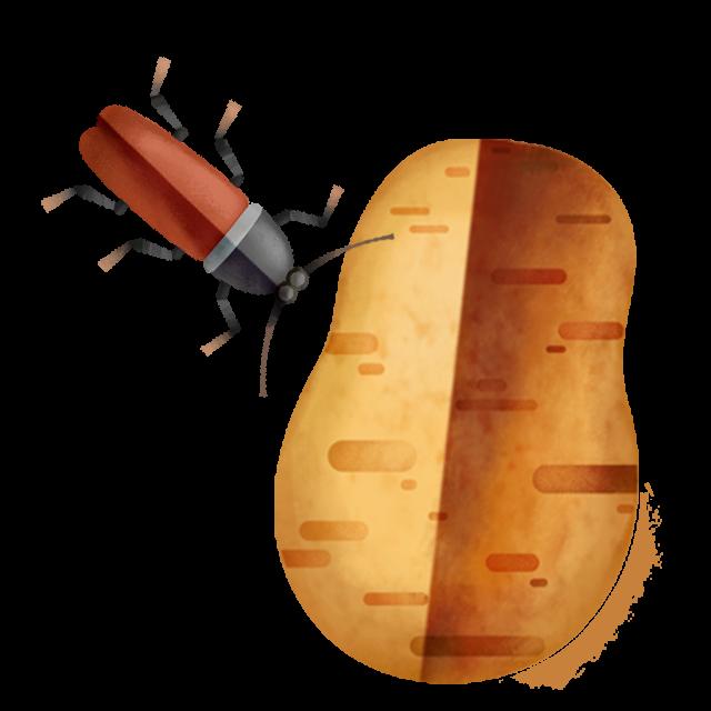 Käfer Kartoffel