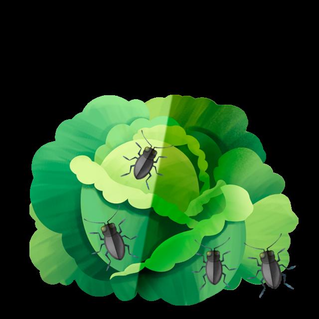 Käfer Kopfsalat