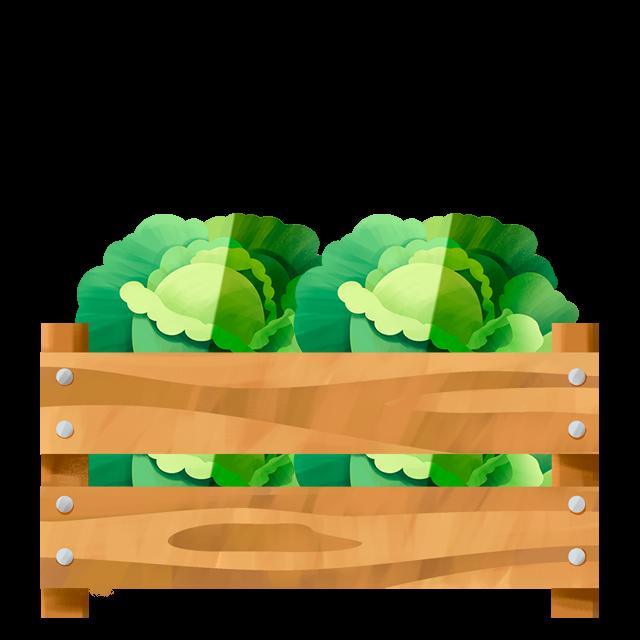 Kiste Kopfsalat