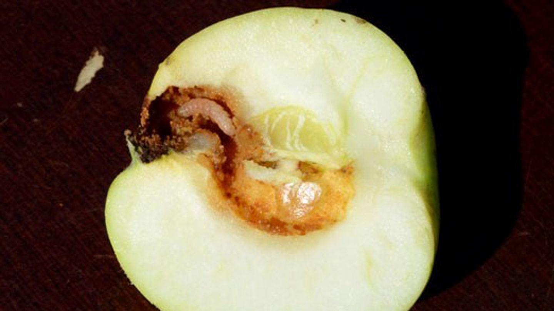 Apfelwickler im Apfel