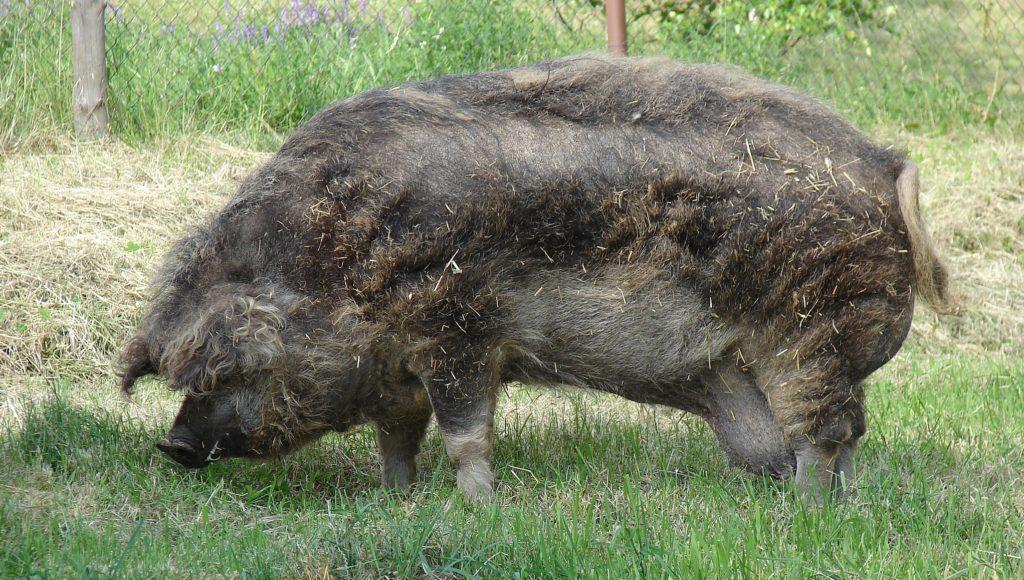 Auf natürliche Art: Wollschweine als Unkrautbekämpfer